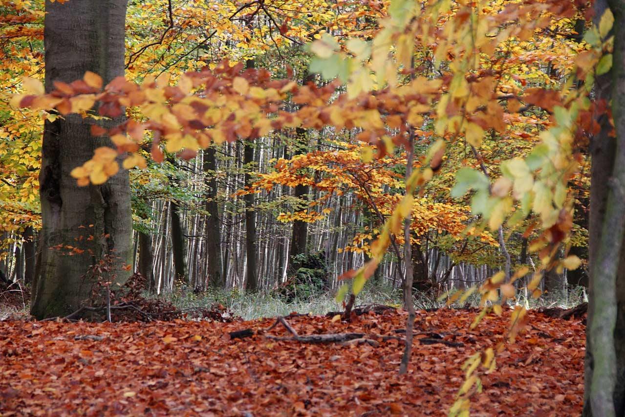 Herbstwald, Digitalfotografie als HD Metal Print in verschiedenen Grössen