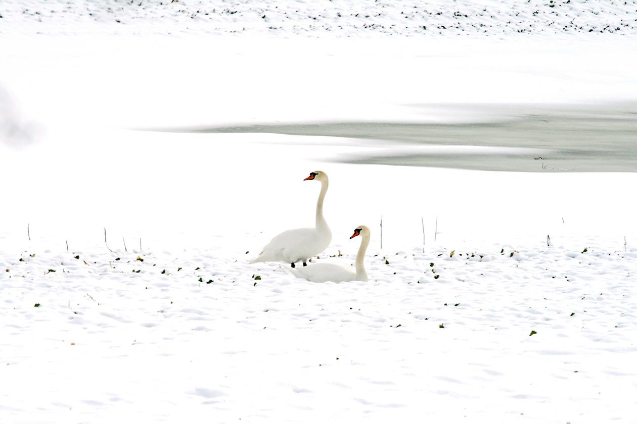 Schwäne im Schnee, Digitalfotografie als HD Metal Print in verschiedenen Grössen
